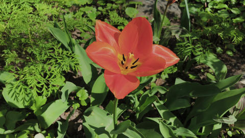 Lonely red tulip on green grass on a sunny day GIF