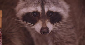 Close-up shot of pretty fluffy raccoon in the zoo cage watching attentively and Footage