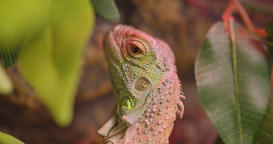 Close-up shot of green iguana open and closes eyes being calm and peaceful in Footage