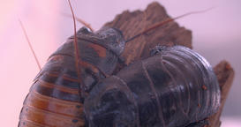 Close-up shot of two black beetles sitting on tree bark moving their whiskers in Footage