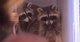Close-up shot of two raccoons in the zoo cage being nervous and scared Footage