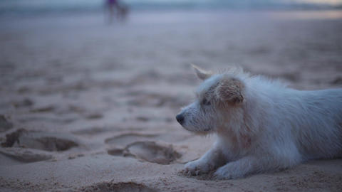 Dog stray on the beach Footage