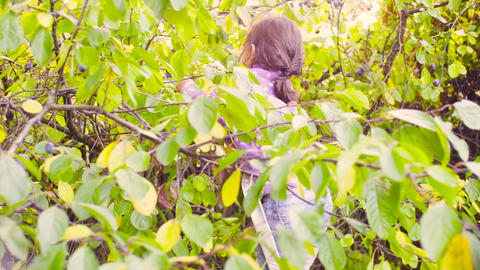 Little girl collecting plums then climbing down the ladder Footage