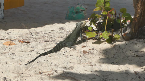 Iguana resting on the sand in La Caravalle beach, Guadeloupe. Lesser Antilles, C Archivo