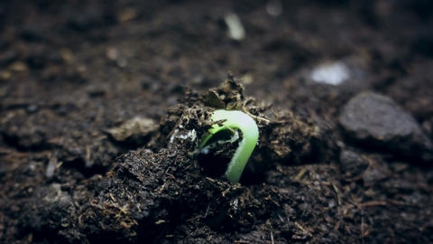Small green plant growing from the ground, springtime summer germination time Footage
