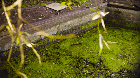 Two girls playing near the old pool overgrown with duckweed Live Action