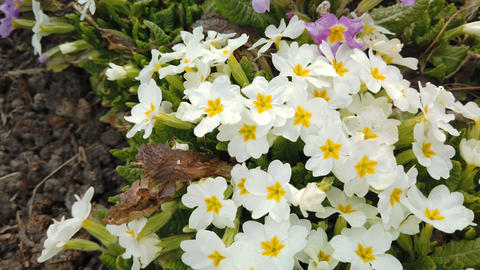 Footage of beautiful colorful flowers bloom in spring garden. Decorative Footage