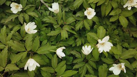 Spring white flowers Europe. Noble mayflower (Hepanca nobilis) Footage