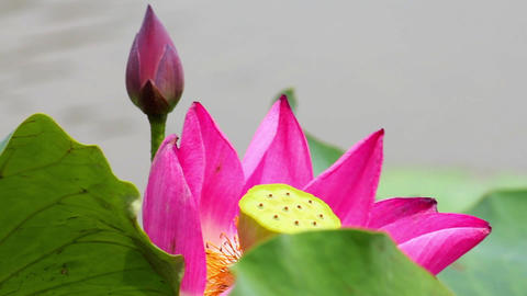 A pink lotus flower and lotus bud in a pond. Pink lotus flower and lotus Live Action