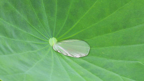 Green Lotus leaf with water drop as background Footage