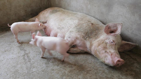 Pink piglets with their motherpig farm ,xi'an, shaanxi, china Live Action
