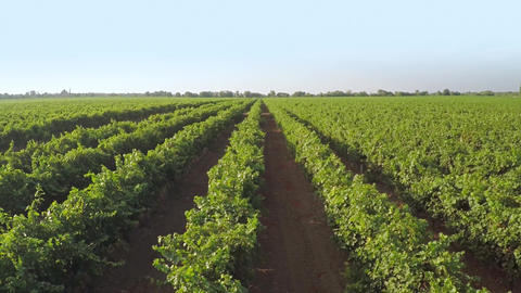 Many Rows of Vineyard. Aerial View Archivo