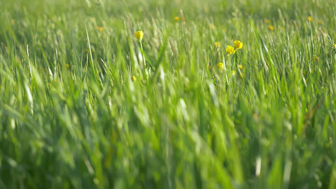 Green Grass And Flowers Background Footage