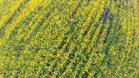 Canola rapeseed field. Aerial drone shot. Flying forward and above Live Action