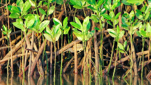 A little gray heron fishes from the mangroves on the river. Shooting in the wild Footage