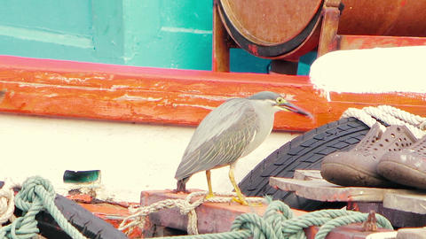 A little gray heron is fishing from a river on a pier. Swallows fish. Close-up Footage