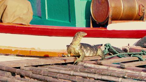 A huge аsian water monitor, Voranus Salvator, Dragon water, lizard eating fresh Footage