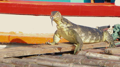 A huge monitor lizard wipes its face after eating on the pier near the boat Archivo