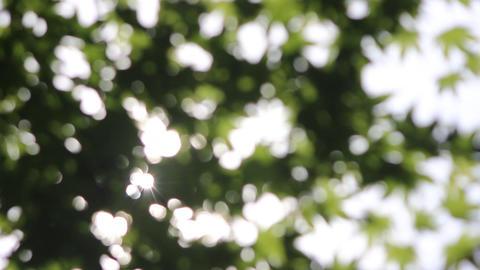木漏れ日とモミジの葉 ライブ動画