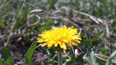 Looking at dandelion flower with magnifying glass biology research Archivo