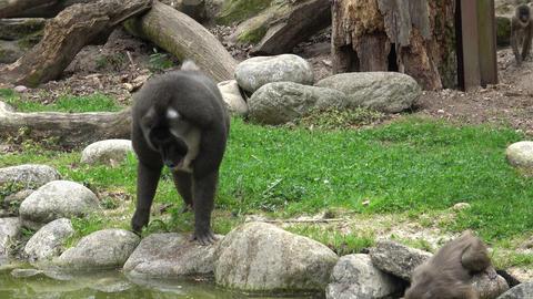 Drill monkey, Mandrillus leucophaeus, resting in the nature habitat area. Critically endangered Live Action