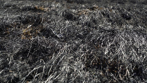 Man feet walking barefoot by burned grass after big forest wildfire, ecological Footage