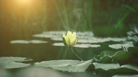 Tulip on the lake. Beautiful ambient, yellow tulip is on the water with sunshine, sunlight Footage