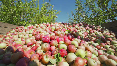 Tractor transport wooden container full of apple fruits Footage