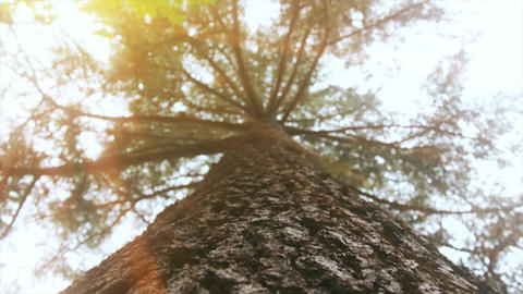 4K Old tree from low angle shot. Sunshine, leafs, forest on nature footage Footage