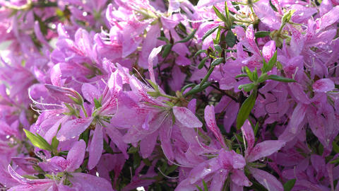 Purple Azalea or Pentanthera or Tsutsuji after the rain in the morning sun Live Action