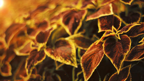 Coleus Blumei flower. Yellow and red house plant, floral footage in garden, botany Live Action