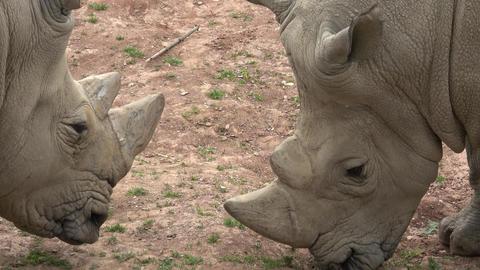 Southern white rhinoceros (Ceratotherium simum simum).…, Live Action