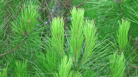 Pinus strobus trees. Beautiful nature, green trees. pine tree Animation