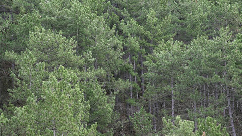Wind In Tall Pine Forest Footage