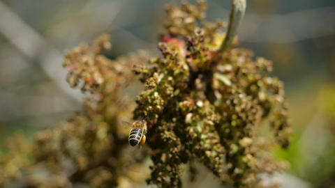 Bee collects nectar from blossoming exotic plants of Canary Islands. Close-up of Footage