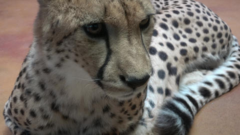 Cheetah portrait (Acinonyx jubatus) Footage
