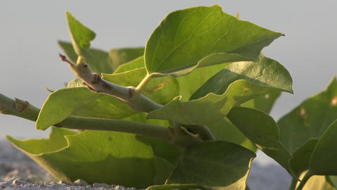 Ant is walking on leaf and eating it. The detailed plant is food for hardworking ant Footage