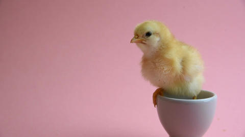[alt video] Yellow Chick In Eggcup with pink background