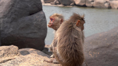 Terrible monkey suffering from a disease Footage