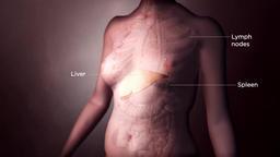 Realistic Animated transparent female internal organs lymph node, liver Footage
