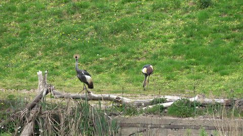 Grey crowned crane (Balearica regulorum) Live Action