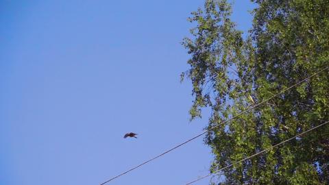 Female Fieldfare flies to chicks Footage