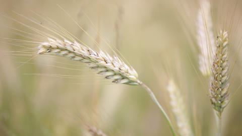 Abstract background of cereal plant 00 04 Footage