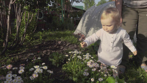 Little girl picks daises on the garden Footage