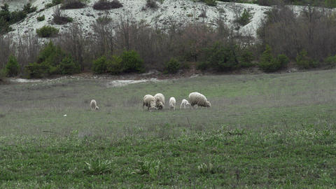Sheeps And Lambs Grazing In A Green Hill Footage