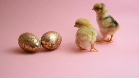2 easter chicks with 2 golden easter eggs Footage
