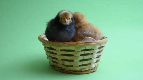 2 easter chicks in easter nest with green background Footage