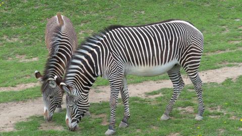 Herd of The Grevy's zebra (Equus grevyi) grazing on green grass Live Action