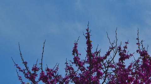 Redbud flowers under a blue sky in spring Footage