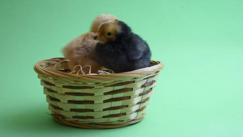 brown easter chicken in easter nest with green background Footage